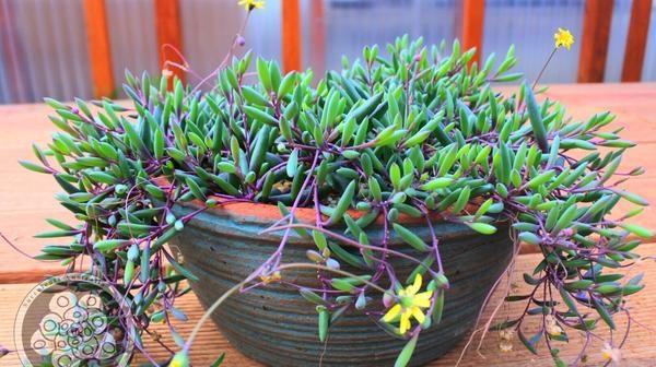 colar de rubi plantas