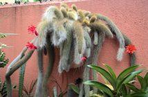 suculenta rabo de macaco
