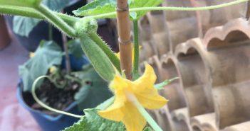 cotonete dentro da flor de pepino
