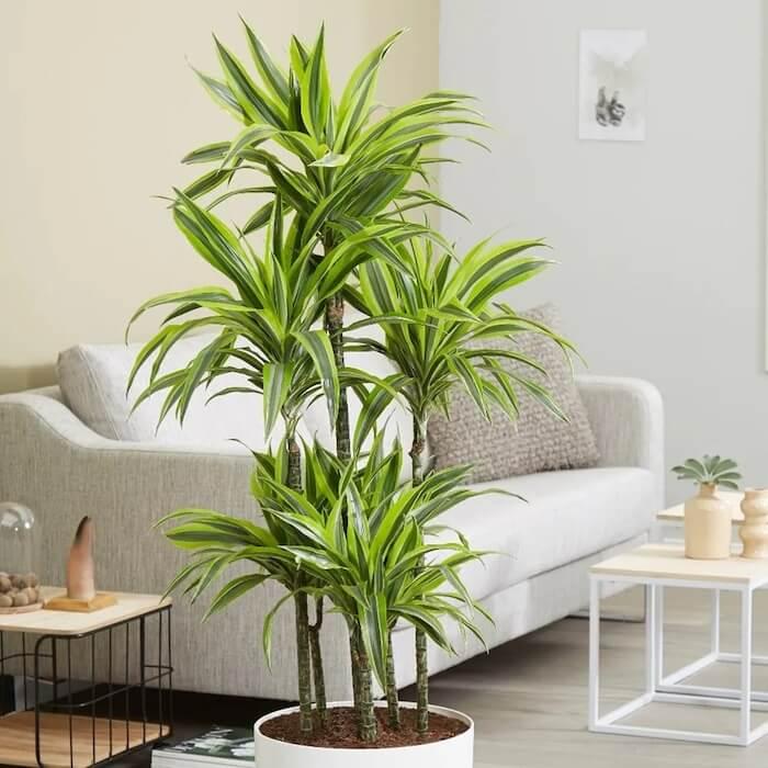 planta vaso interior dracena