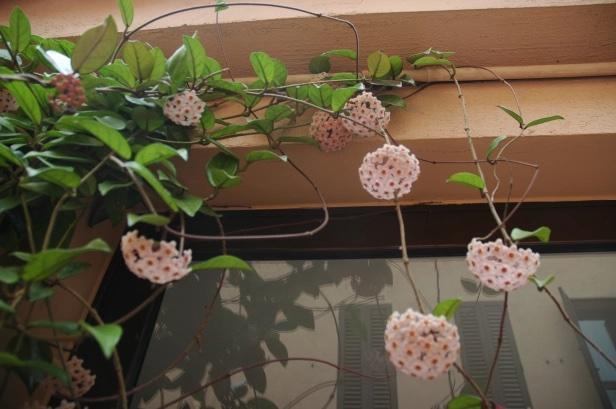 flor de Hoya
